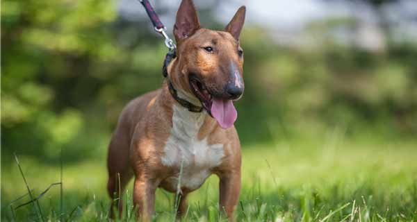 Bull terrier vs miniature bull terrier: appearance
